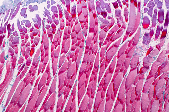 Education anatomy and Histological sample Striated (Skeletal) muscle of mammal Tissue under the microscope.