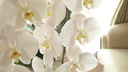 胡蝶蘭(こちょうらん) - Phalaenopsis