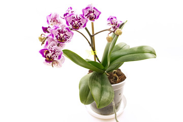 Spotted Phalaenopsis Orchid flower in a pot