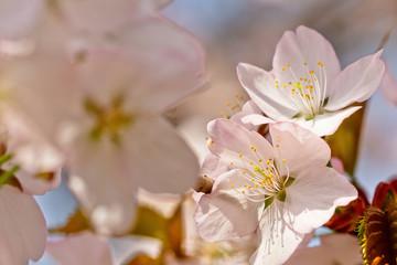 Sakura flowers Japanese cherry blossoms