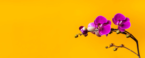Beautiful purple Phalaenopsis orchid flowers on bright yellow background. Tropical flower, branch of orchid close up. Pink orchid background. Holiday, Women's Day, Flower Card flat lay