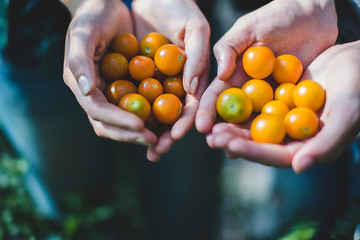 Cropped image of coworkers holding fresh cherry tomatoes at farm
