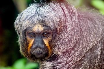 Printed kitchen splashbacks Artist KB White-faced saki monkey looking at camera