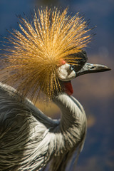Grey crowned crane bird by the pond