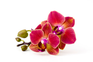 Spoed Foto op Canvas Orchidee Beautiful colorful orchid - phalaenopsis - white background