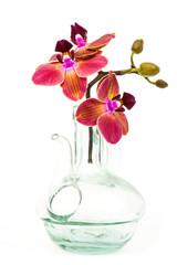 Beautiful colorful orchid - phalaenopsis - white background