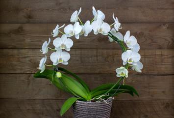 Beautiful white orchid - phalaenopsis - wooden background