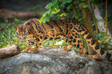 Clouded Leopard Neofelis nebulosa Wall mural