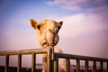 selective focus photography of camel