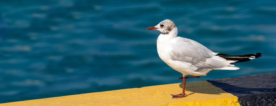 White seagull with red beak sitting on the dock. Seagull close-up on a blurred water background.