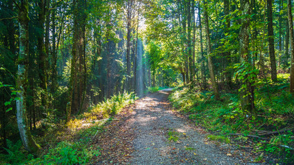 Forest with sunbeams and a way