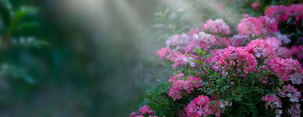 Wall Mural - Fantasy mysterious spring floral banner with blooming pink rose flowers on blurred green background and sun rays
