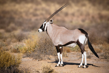 Wall Mural - Gemsbok portrait in the Kgalagadi Park South Africa, Oryx gazella