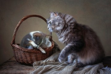 Gray Siberian cat and little chihuahua puppy