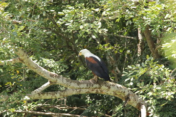 African fish eagle on a branch of a tree