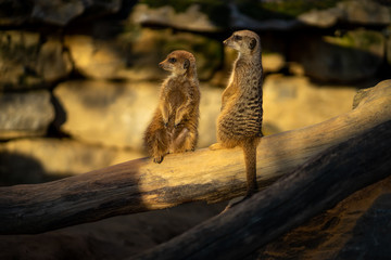 Two Meercats in Frankfurt zoo