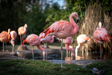 Foto auf Leinwand Flamingo Flamingos in Frankfurt Zoo