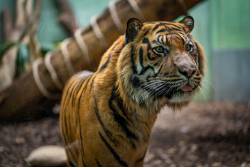Close-up of tiger in Frankfurt Zoo