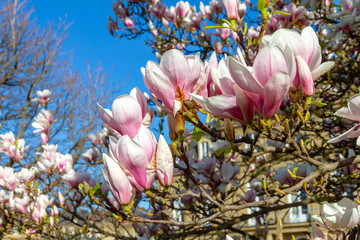 Magnolienblüte in Stuttgart