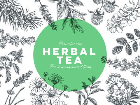 Vector hand drawn tea herb Illustration.