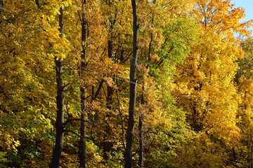 forest of yellow trees