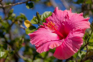 Hibiscus with pink flowers from South Africa