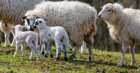 Fototapete - flock of sheep with newborn lambs