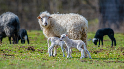 Fototapete - flock of sheep with lambs