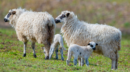 Fototapete - sheep with cute newborn lambs