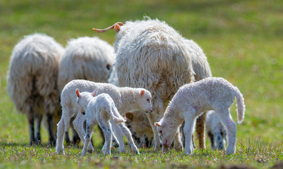 Fototapete - a flock of sheep with lambs