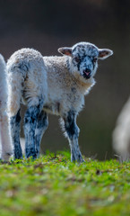 Fototapete - newborn lamb close up on a meadow