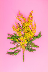 Greeting card with mimosa on pink table surface