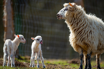 Fototapete - the mother sheep and her newborn lambs