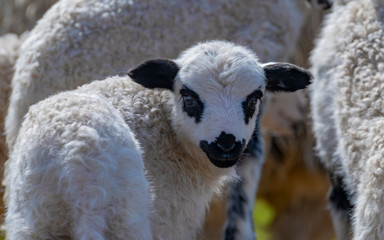 Fototapete - newborn cute lamb close up