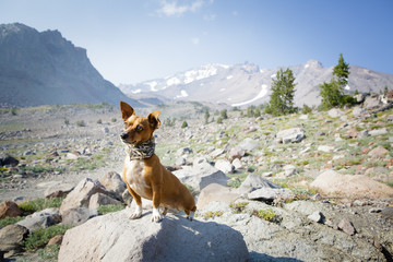 Chihuahua stands on rock by mountains