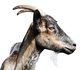 Fototapete - grey goat portrait in profile, isolated on white background