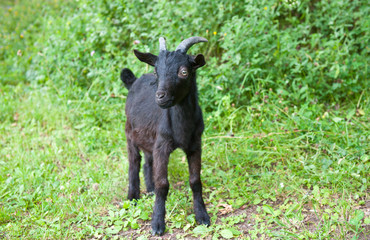 Wall Mural - Young black goat on green grass