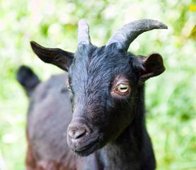 Fototapete - Young black goat