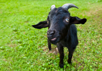 Wall Mural - Young funny black goat on green grass