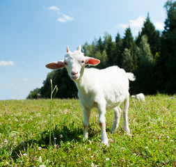 Fototapete - A young goat grazing in a meadow
