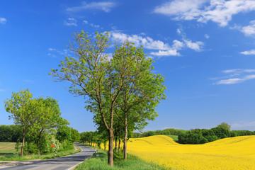 Landschaft mit Rapsfeld und einer Landstraße (Eschenallee) mit blauem Himmel in der Holsteinischen Schweiz
