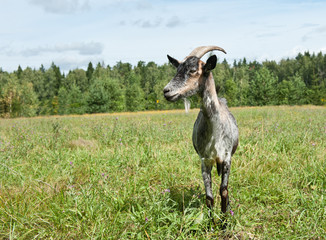 Wall Mural - A grey goat in a field near a forest