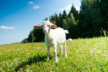 Wall Mural - A young goat grazing in a meadow