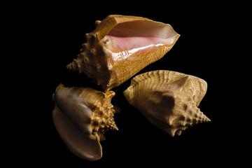 Three empty sea shells on a black background