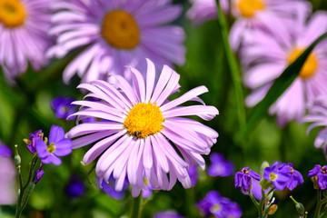 Aster Dumosus Daises Pink Daisy Violet Floral Portrait Stock Photo