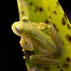 Tropical glass frog from the Amazon rain forest, Teratohyla pulverata. A beautiful nocturnal jungle animal.