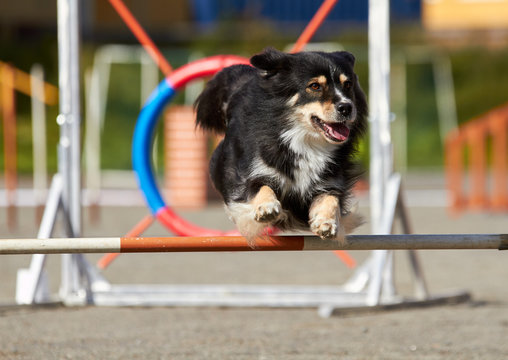 Border collie jumping on an agility training tire on a dog playground.
