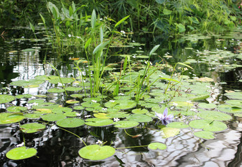 Pond with flowering lilies