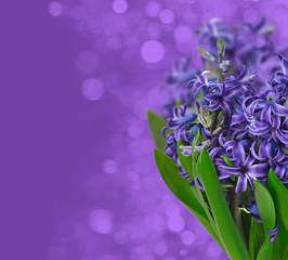 Hyacinths. Spring flowers on purple background