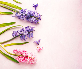 Spring flowers on pink background. Hyacinths.